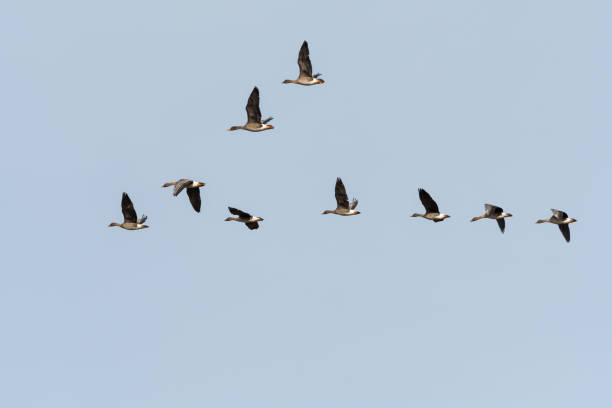 Migrating Bean Geese in V-formation stock photo
