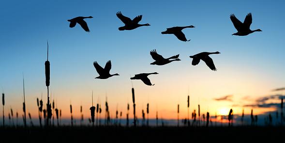 The greylag goose flying on the evening, Kopački rit