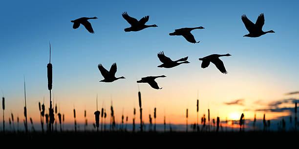 Migrating canada geese picture id108272587?b=1&k=6&m=108272587&s=612x612&w=0&h=5kajvhxr zq74zssrdmbwpboduensmuy1ptbj3tg4jc=