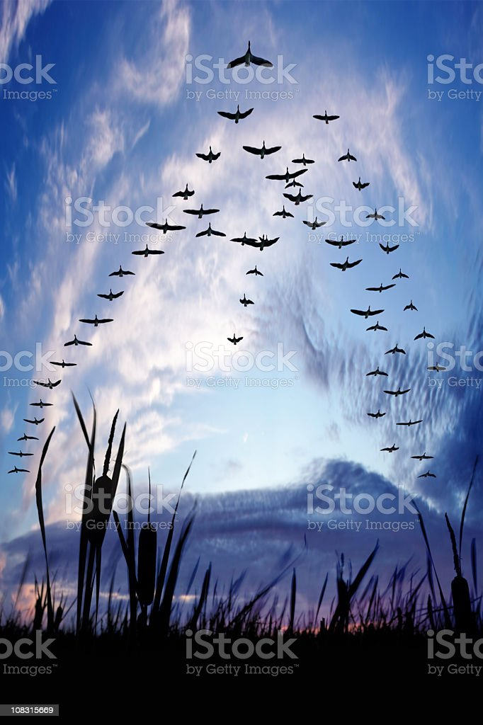 XXXL migrating canada geese stock photo