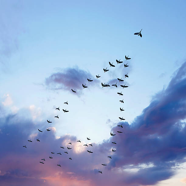 XL migrating canada geese flock of migrating canada geese flying at sunset, square frame (XL) arrangement stock pictures, royalty-free photos & images
