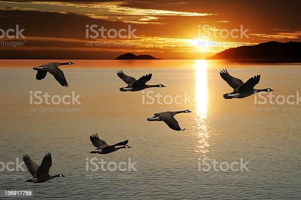 Migrating canada geese picture id136917788?b=1&k=6&m=136917788&s=612x612&h=4s esonc2twhgxjaubgl8qfs4f9dfrn31w9fnuu4xf8=