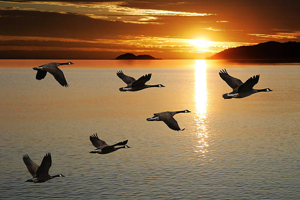 XL migrating canada geese migrating canada geese in silhouette flying over lake at sunrise (XL) arrangement stock pictures, royalty-free photos & images