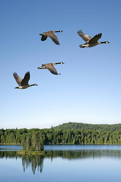 XXXL migrating canada geese migrating canada geese flying over lake with bright sky, vertical frame (XXXL) canada goose stock pictures, royalty-free photos & images