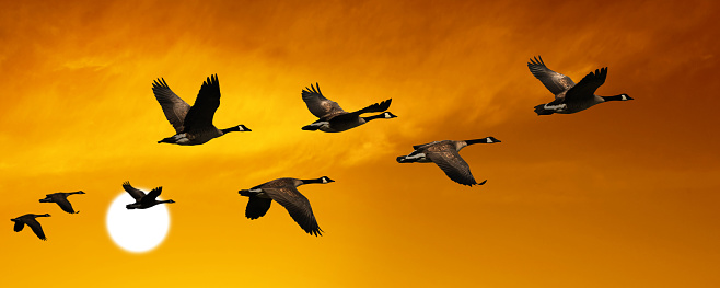migrating canada geese in silhouette flying at sunset, panoramic frame (XL)