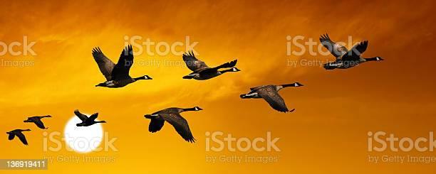 Migrating canada geese picture id136919411?b=1&k=6&m=136919411&s=612x612&h=nh078ftqvwwfgo6j3utvyuaomfacpw rvn5k9bvctmc=