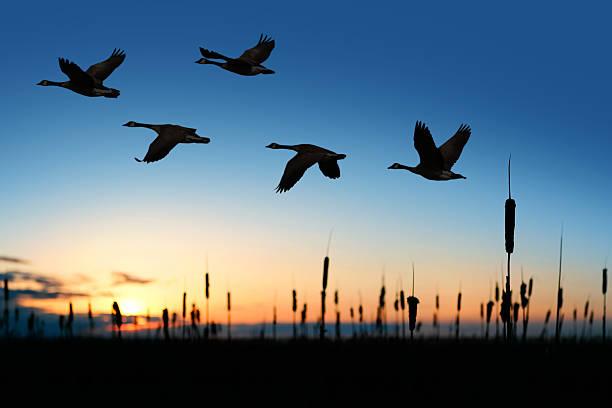 xxl migrating canada geese - vogel herfst stockfoto's en -beelden