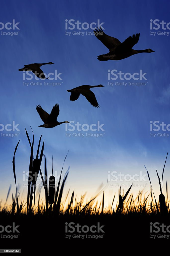 XXXL migrating canada geese royalty-free stock photo