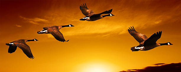 XL migrating canada geese flock of migrating canada geese at sunset, panoramic frame (XL) bird hunting stock pictures, royalty-free photos & images
