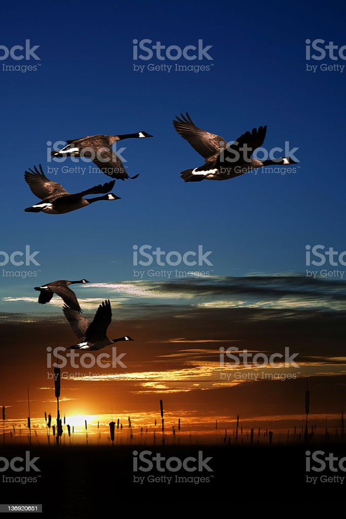 XXL migrating canada geese royalty-free stock photo