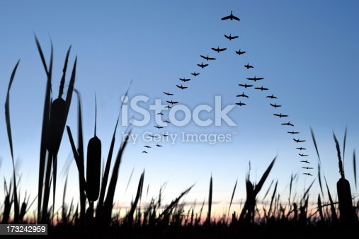 large flock of canada geese flying in silhouette at twilight (XXL)