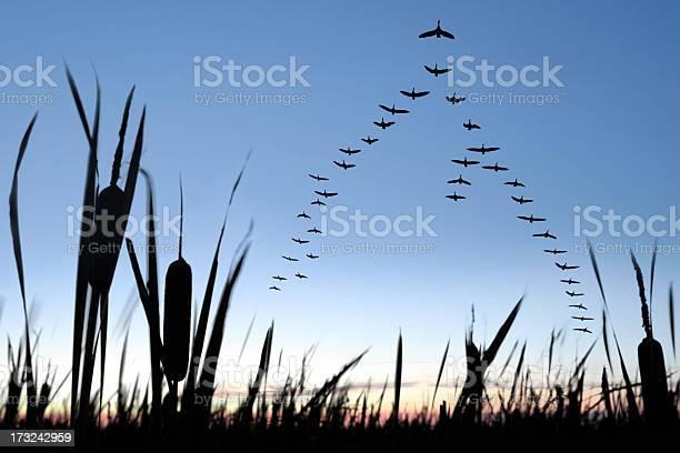 Migrating canada geese picture id173242959?b=1&k=6&m=173242959&s=612x612&h=5drhgvwz0sfz 3ezu1umzi1moxuzawwdo6qpazzh4kk=