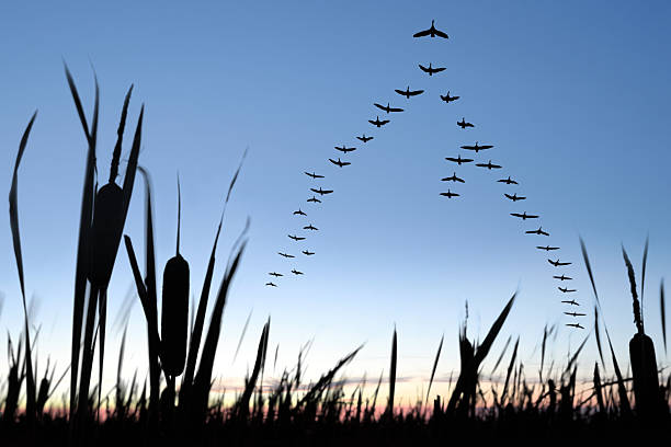 XXL migrating canada geese large flock of canada geese flying in silhouette at twilight (XXL) arrangement stock pictures, royalty-free photos & images