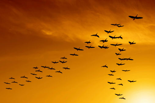 flock of migrating canada geese flying at sunset (XXL)