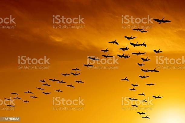 Photo of XXL migrating canada geese