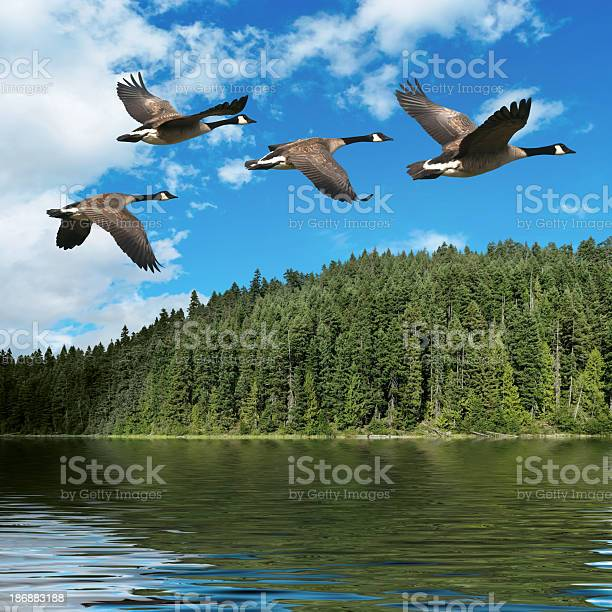 Photo of XXXL migrating canada geese