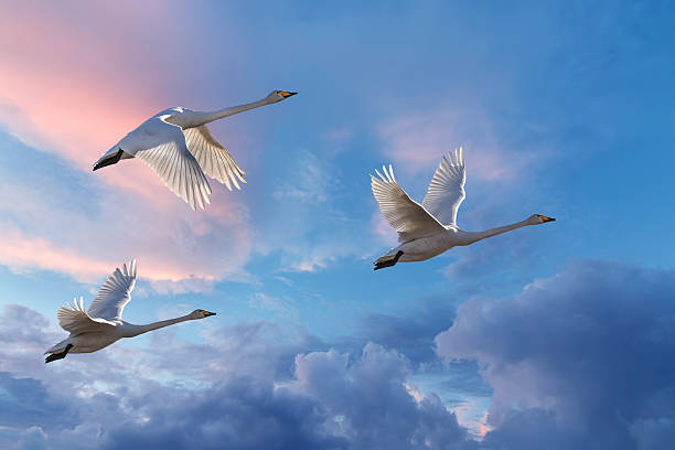 migrating cranes spring or autumn season - crane bird stock pictures, royalty-free photos & images