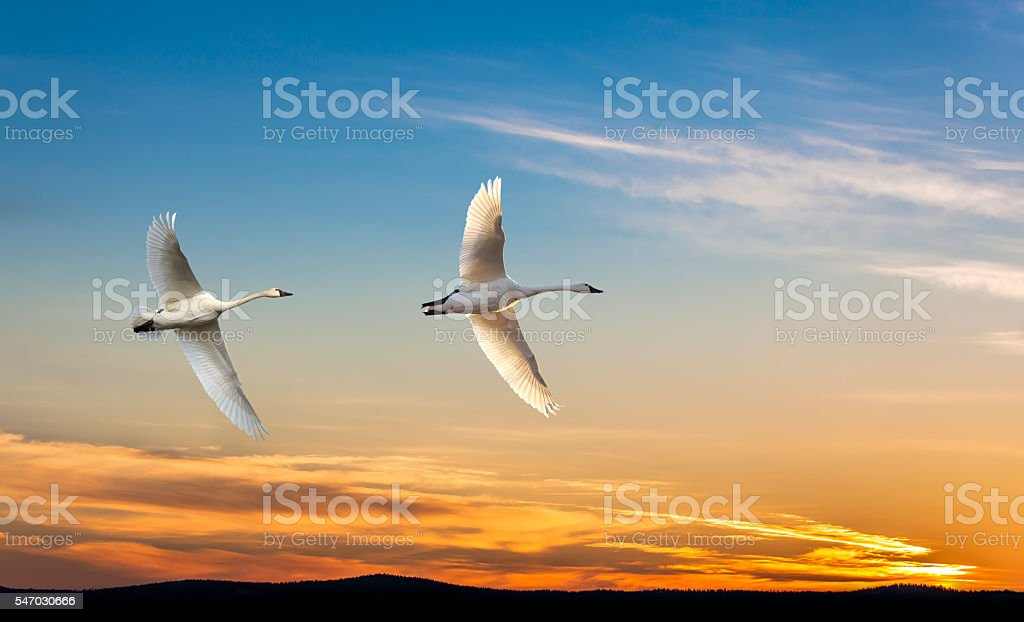 Migrating cranes spring or autumn season stock photo