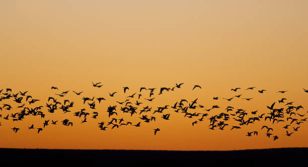 Migrating Flock of Birds  snow goose stock pictures, royalty-free photos & images