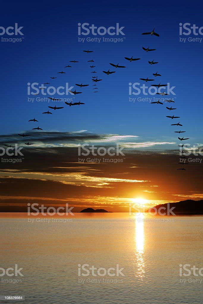 XXL migrating geese at sunset stock photo