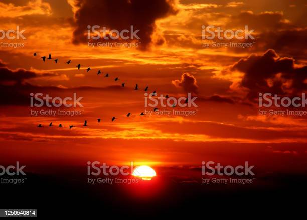 Photo of migrating geese in front of dramatic sunset