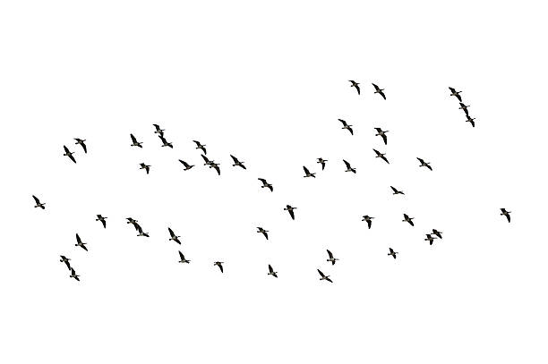 Migrating geese on white stock photo