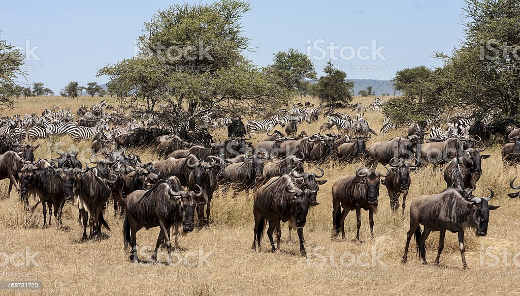 Migrating Gnus And Zebras stock photo