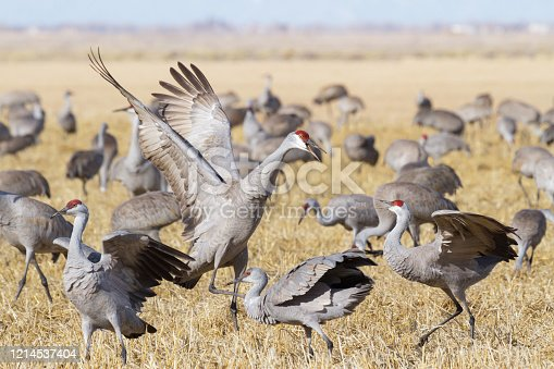 Sandhill Cranes during the Spring migration in Monte Vista, Colorado.
