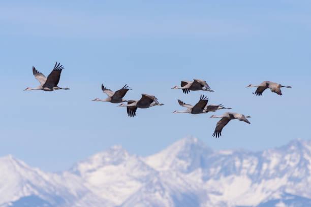Migrating Greater Sandhill Cranes in Monte Vista, Colorado stock photo
