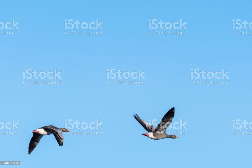 Migrating Greylag Goose couple stock photo