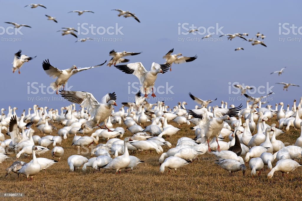 Migrating Snow Geese Fly in for Feeding stock photo