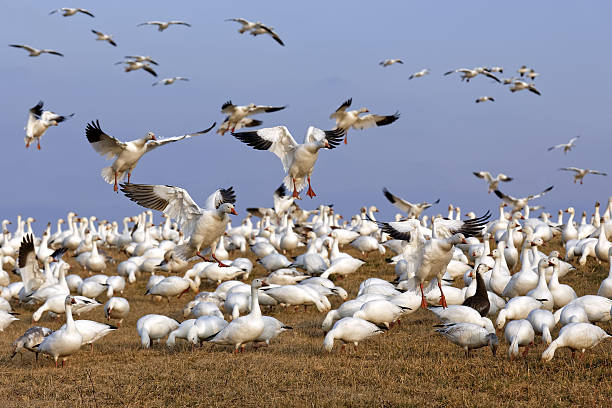 Migrating Snow Geese Fly in for Feeding Thousands of migrating Snow Geese ( Chen caerulescens ) fly in for a layover in Lancaster County, Pennsylvania, USA. snow goose stock pictures, royalty-free photos & images