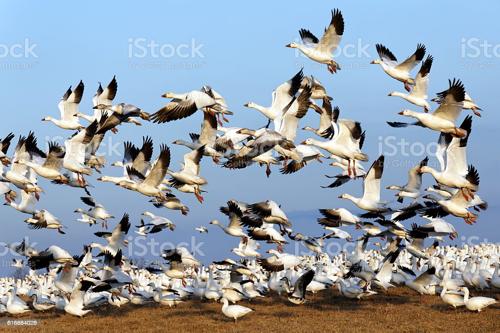 Migrating Snow Geese Fly Up stock photo