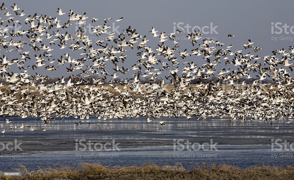 Migrating Snow Geese royalty-free stock photo