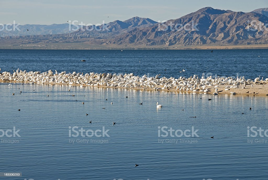 Migrating white pelicans on Salton Sea in California stock photo