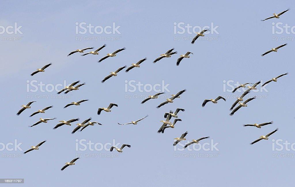 Migration of birds royalty-free stock photo
