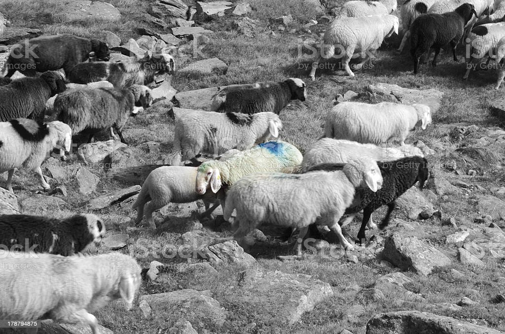 migration of sheep royalty-free stock photo