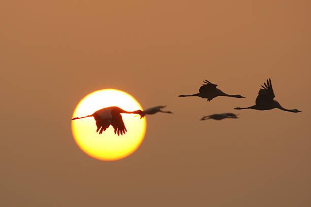 migration of the cranes stock photo