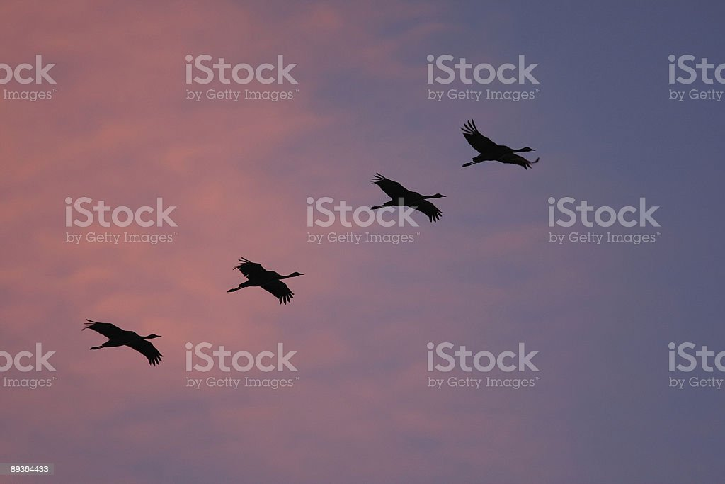 migration of the cranes royalty free stockfoto