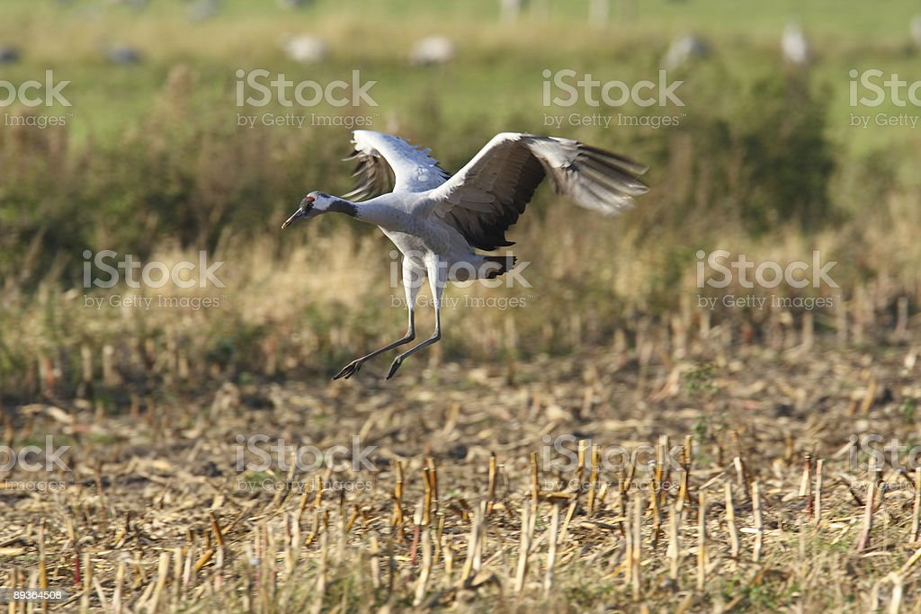 migration of the cranes royalty-free stock photo