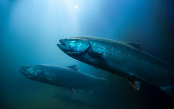 Migration Salmon Migrating salmon in the Columbia River. salmonidae stock pictures, royalty-free photos & images