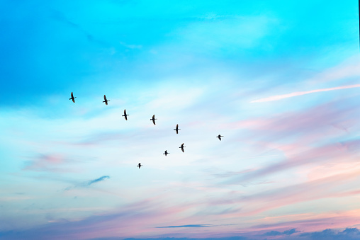Migratory birds flying in the shape of v on the cloudy sunset sky.
