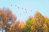 Migratory birds flying in the shape of v over autumn forest with birch trees. Sky and clouds with effect of pastel colored.