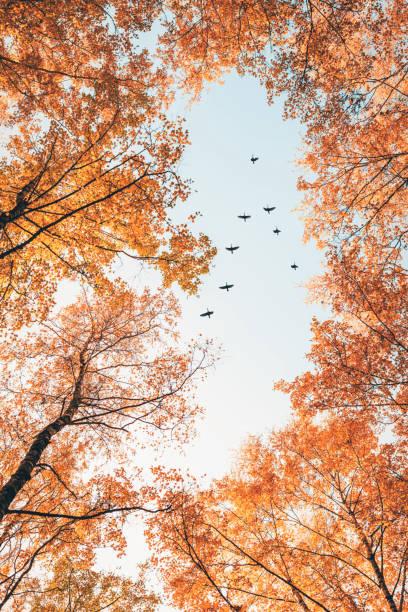 trekvogels vliegen in de vorm van v over herfst bos met berken bomen. hemel en wolken met effect van pastel gekleurd. - vogel herfst stockfoto's en -beelden