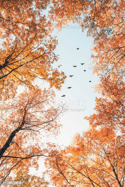 Photo of Migratory birds flying in the shape of v over autumn forest with birch trees. Sky and clouds with effect of pastel colored.