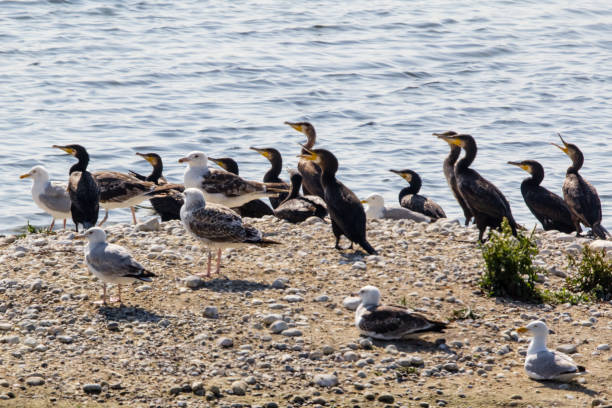 migratory birds in Baie de Somme wild animals somme stock pictures, royalty-free photos & images