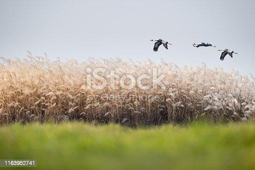 reed flowers and white-naped crane in jiangxi poyang lake national nature reserve, China