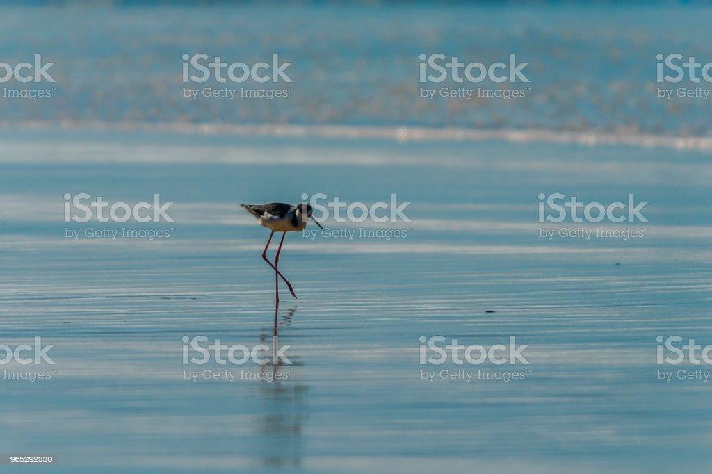 Migratory birds - Pernilongo-de-Costas-Brancas royalty-free stock photo