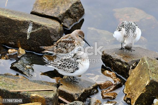 Migratory birds rest on the bank of the Volga River.The western sandpiper (Calidris mauri) is a small shorebird. The sanderling (Calidris alba) is a small wading bird.