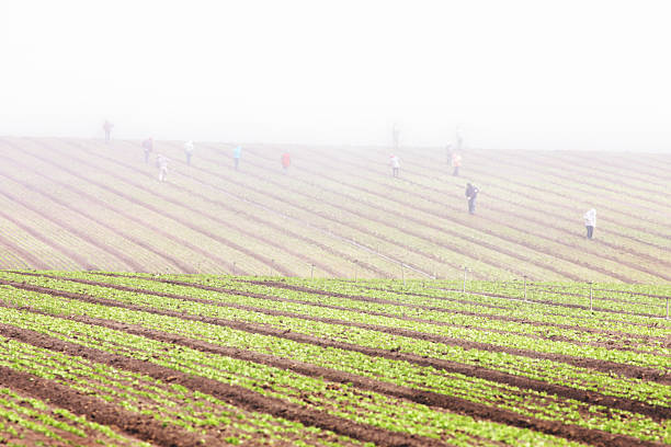 Migratory Farm Workers Fog Crop Field Farm fields extend into the distance where dense fog descends upon workers tending the crops. Salinas, California, 2015. migrant worker stock pictures, royalty-free photos & images
